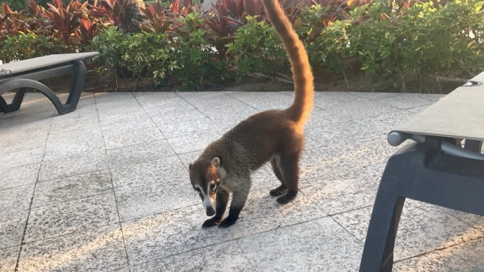 travel-review-riviera-maya-mexico-wildlife-coati